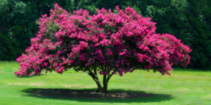 living-color-crape-myrtle-header-full-size-tree-landscape