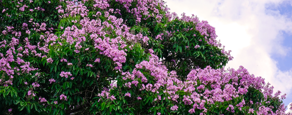 living-color-crape-myrtle-tree-and-sky