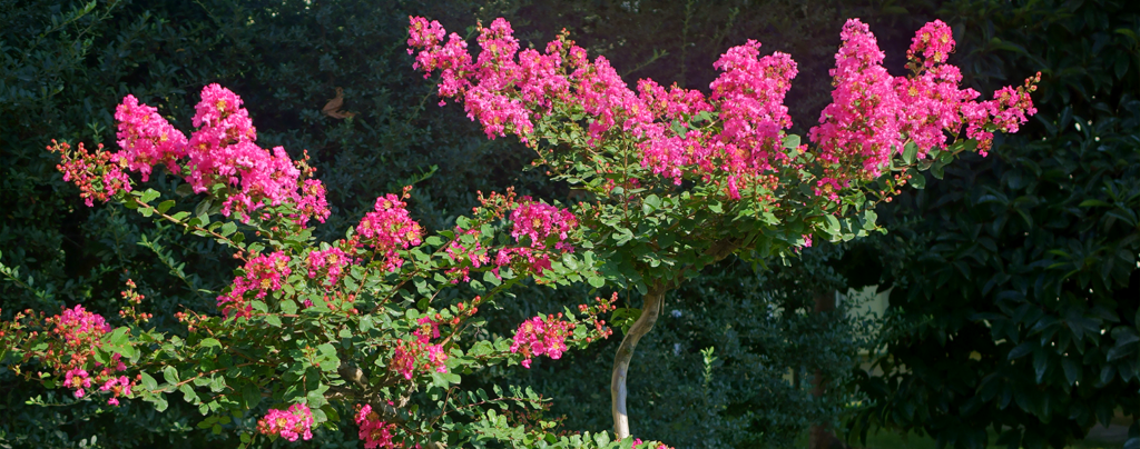 living-color-crape-myrtle-up-close