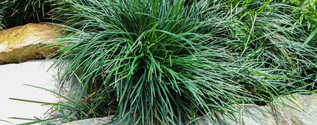 living-color-ground-cover-plants-mondo-grass