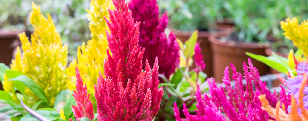 living-color-late-summer-containers-celosia