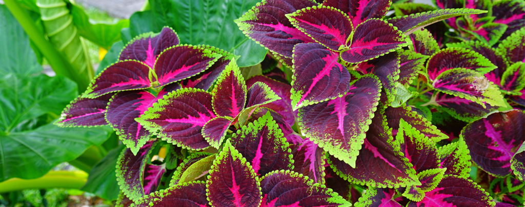 living-color-low-maintenance-summer-plants-Coleus