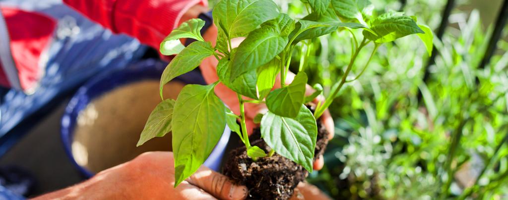living-color-summer-gardening-pepper-plant