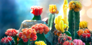 living-color-colorful-cacti-moon-cactus-header