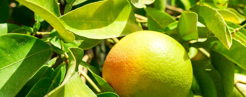 living-color-favorite-cool-season-fruits-veggies-grapefruit-plant