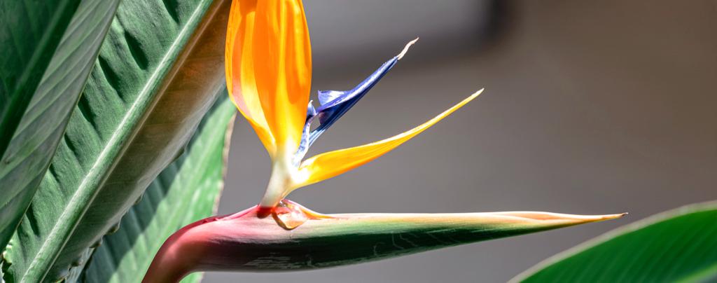 living-color-favorite-tropical-houseplants-bird-of-paradise
