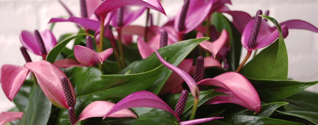 living-color-anthurium-flowers