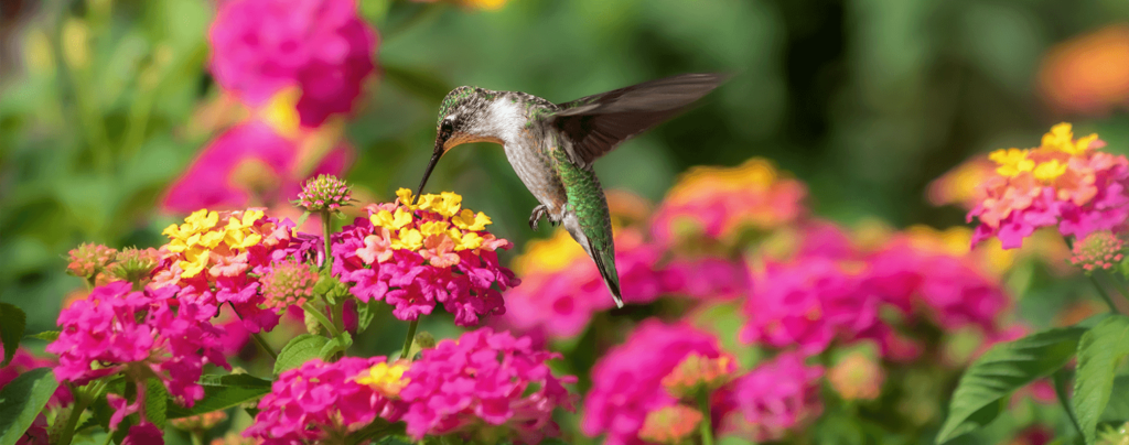 living-color-best-perennials-bright-lantana-with-hummingbird