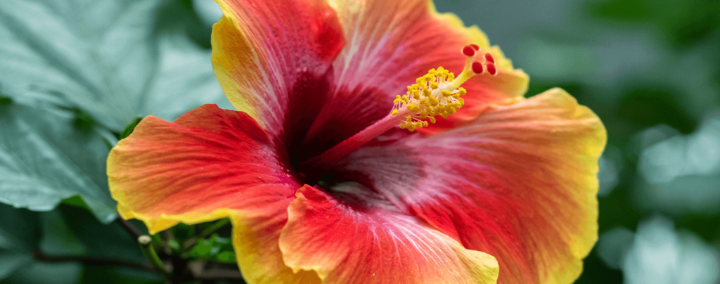 living-color-best-perennials-bright-red-hibiscus