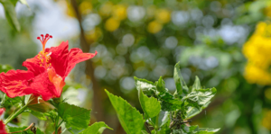 living-color-best-perennials-hibiscus-tropical-garden-header