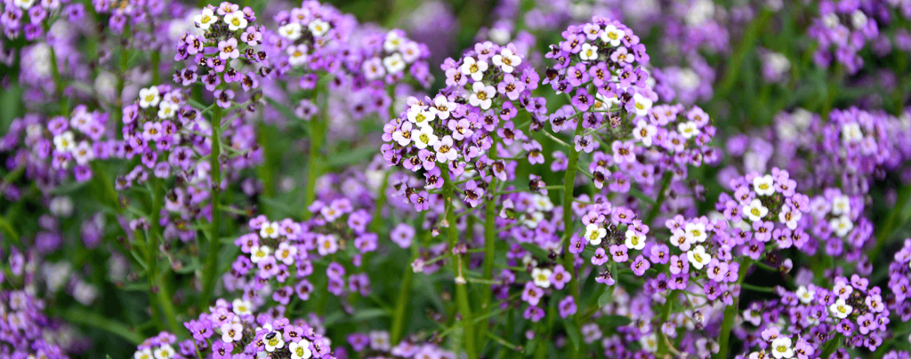 living-color-cool-season-annuals-florida-alyssum
