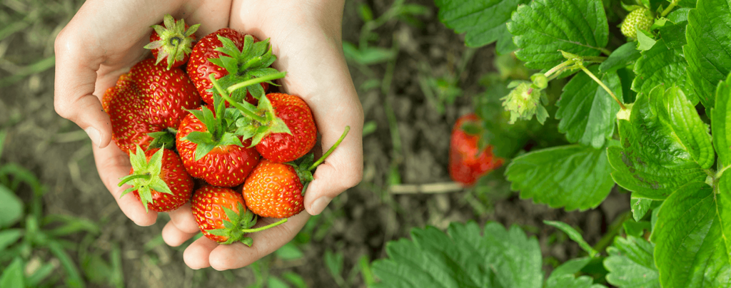 living-color-grow-strawberries-handpicked-strawberries