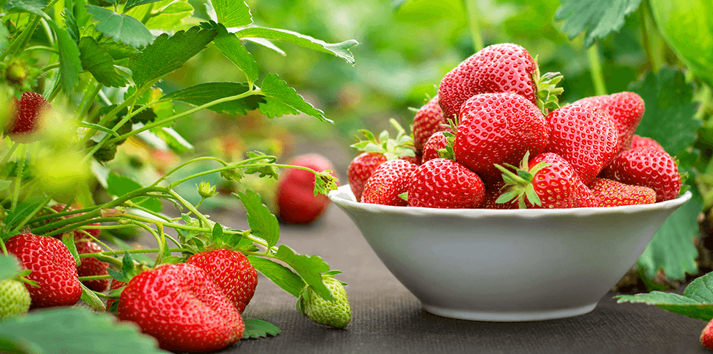 living-color-grow-strawberries-in-white-bowl