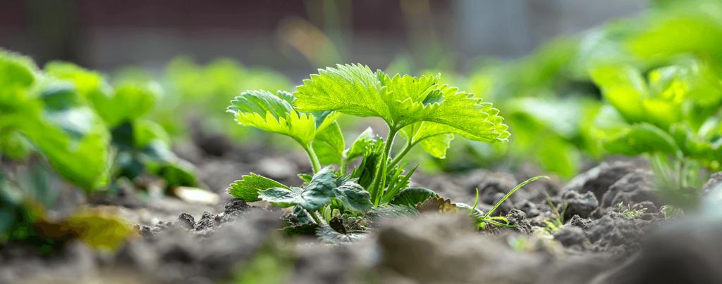 living-color-grow-strawberry-seedlings-in-soil