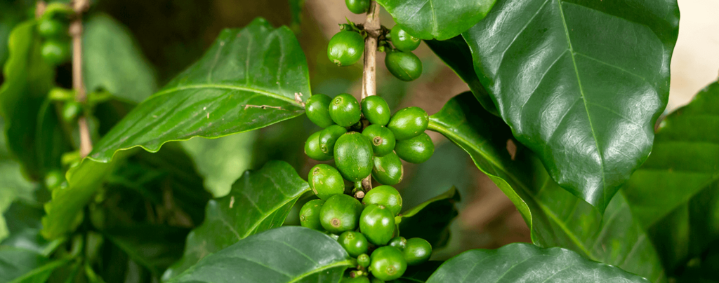 living-color-how-to-grow-a-coffee-plant-green-fruit