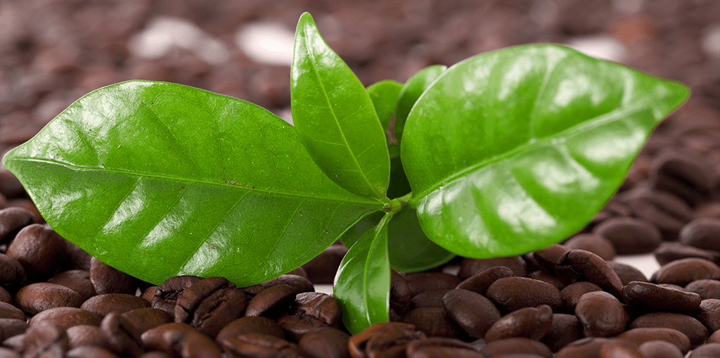 living-color-how-to-grow-a-coffee-plant-leaves-with-coffee-beans