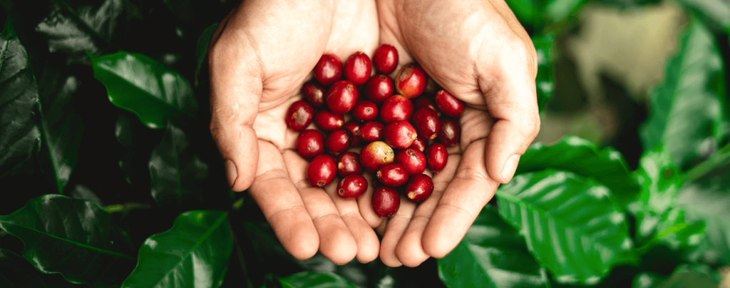 living-color-how-to-grow-a-coffee-plant-ripe-red-fruit