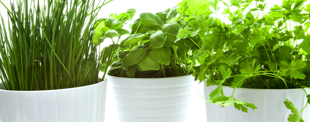living-color-plant-herbs-at-home-chives-basil-cilantro