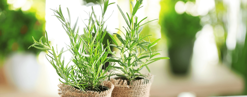 living-color-plant-herbs-at-home-rosemary