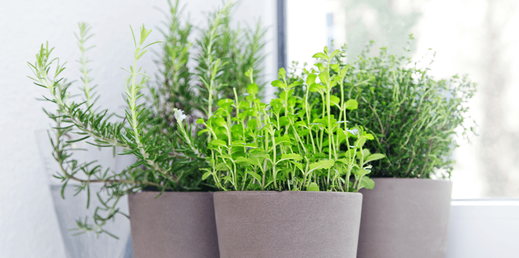 living-color-plant-herbs-at-home-windowsill
