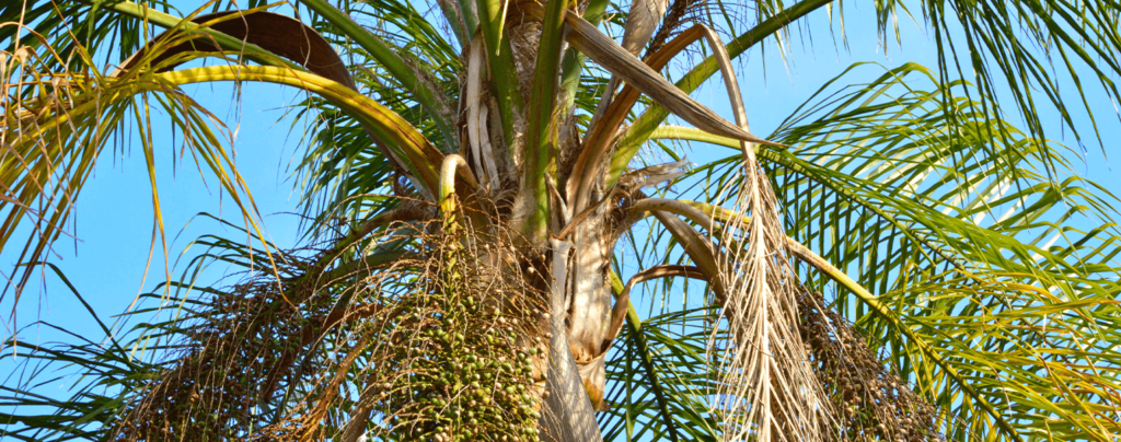 living-color-palm-tree-pruning-brown-fronds-and-fruit-stems