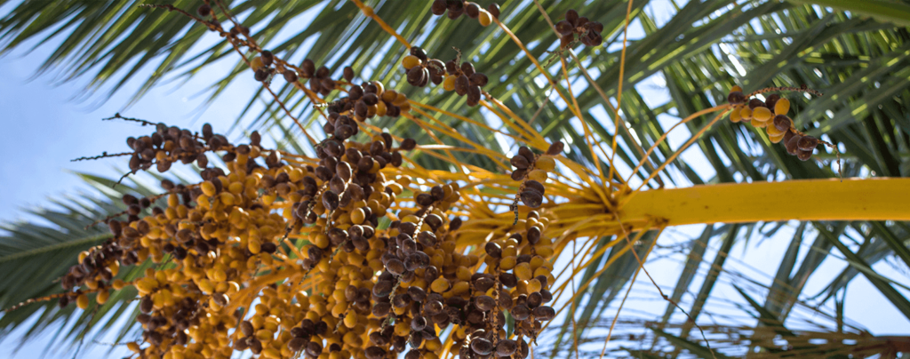 living-color-palm-tree-pruning-fruit-stem