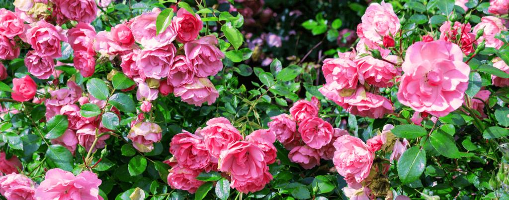 living-color-rose-bushes-belinda's-dream
