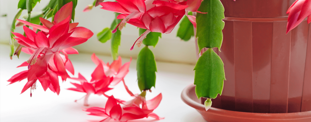 living-color-caring-for-christmas-cactus-drainage-pot