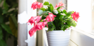 living-color-caring-for-christmas-cactus-in-window