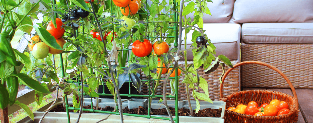 living-color-edible-container-gardening-ideas-potted-tomato-plants-on-patio