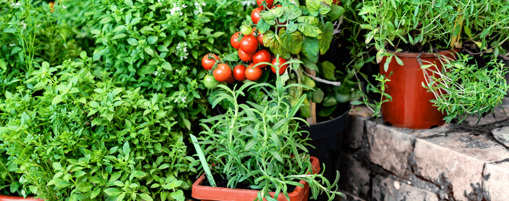 living-color-edible-container-gardening-ideas-tomatoes-and-other-edible-plants
