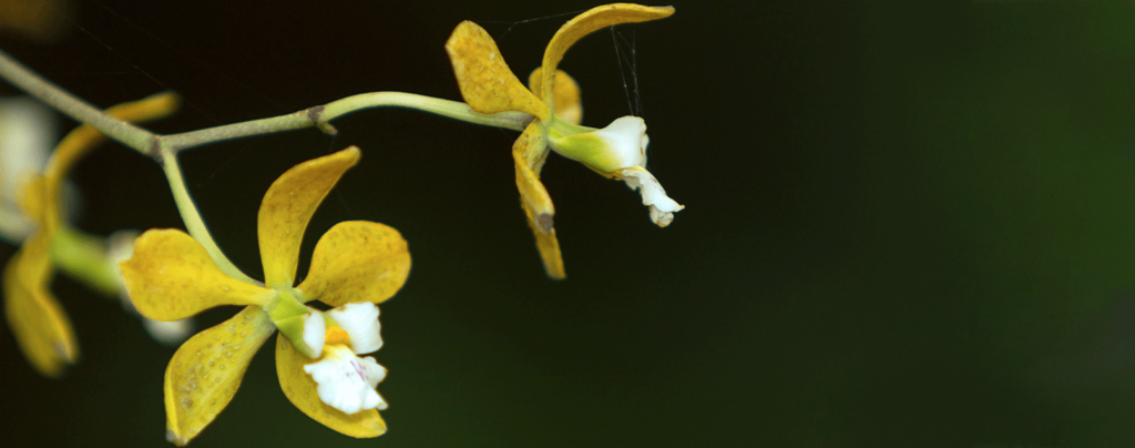 living-color-six-favorite-orchids-florida-butterfly-orchid-yellow