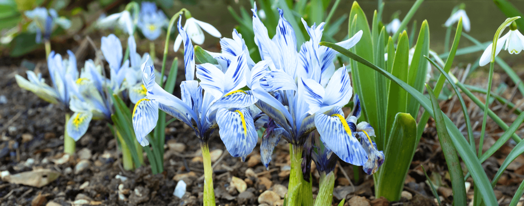 living color beautiful bulbs to plant dwarf irises