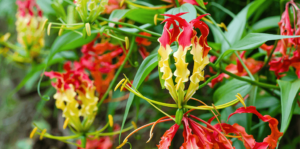 living color beautiful bulbs to plant gloriosa