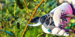 living-color-pruning-roses-shears-gloves