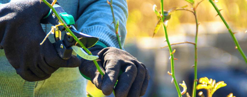 living-color-pruning-roses-spring-shears-gloves