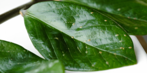 living color scale insects on dark green leaves