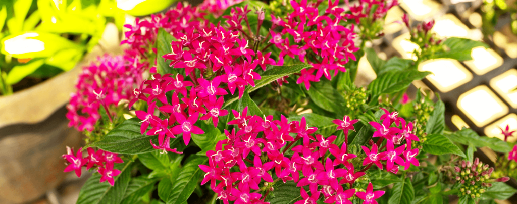 living color full sun flowers march magenta pentas sunlight