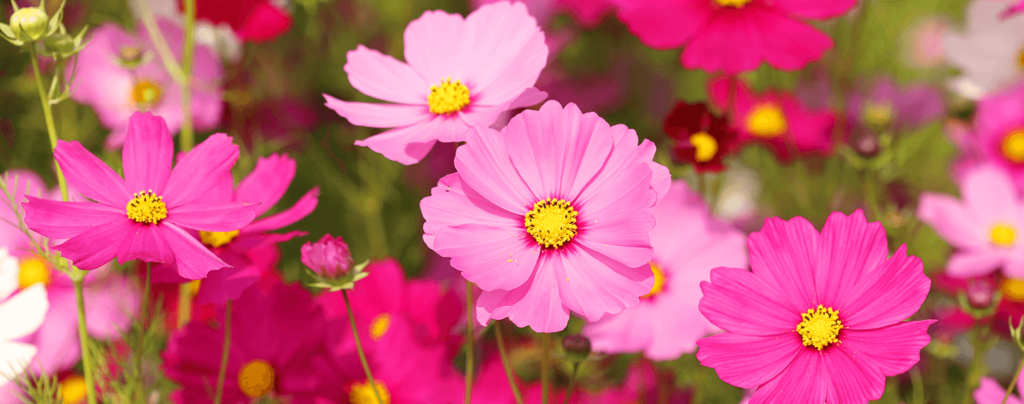 living color full sun flowers march pink cosmos