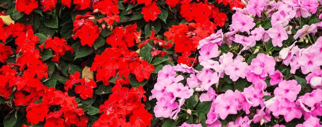 living color full sun flowers march sunpatiens