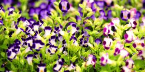 living color full sun flowers purple torenia hot sunlight