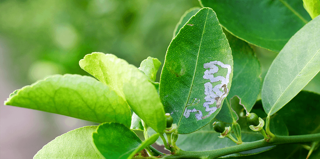 living color outsmart citrus leafminers leaf pattern