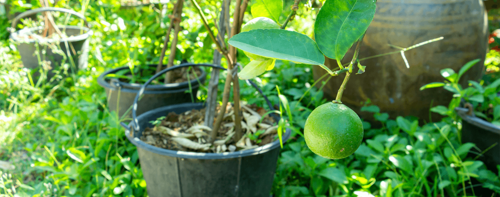 living color planting caring for key lime tree in pot single lime