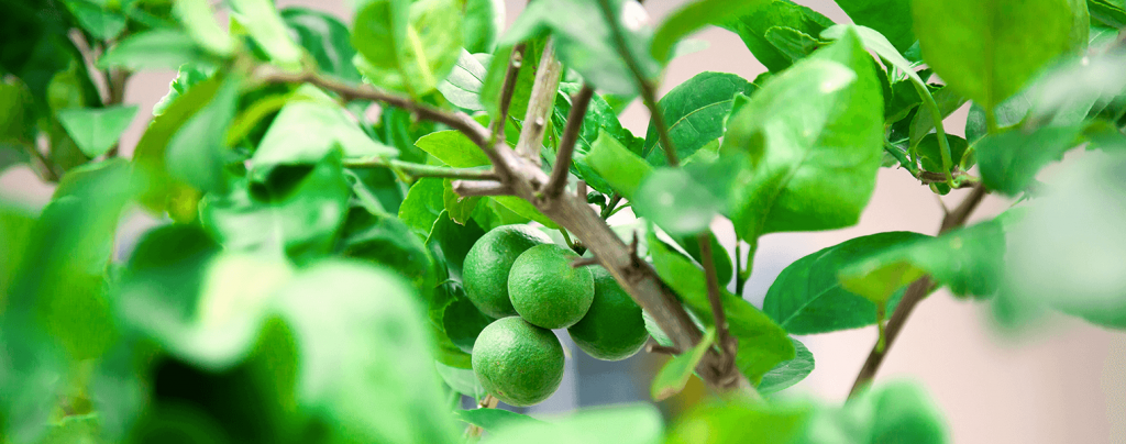 living color planting caring for key lime tree limes leaves