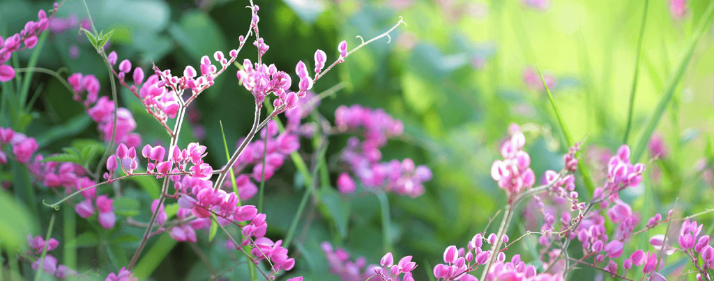living color benefits of groundcover plants pink maxican creeper