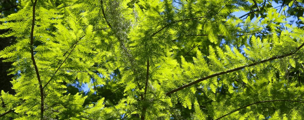 living color garden center shade trees south florida landscape bald cypress