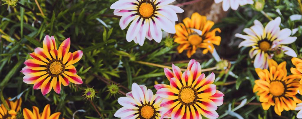 living color garden center heat tolerant annuals gazania daisy