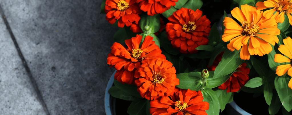 living color garden center heat tolerant annuals potted zinnias