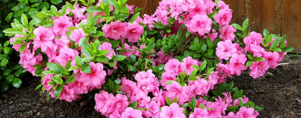 living color garden center shrubs fort lauderdale landscapes azaleas pink