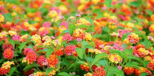 living color garden center shrubs fort lauderdale lantanas